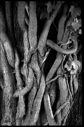 Symbolbilder der Fotografie   Ast- und Wurzelwerk gemeiner Efeu